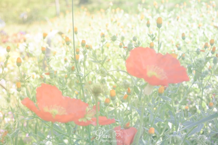 ポピーの花